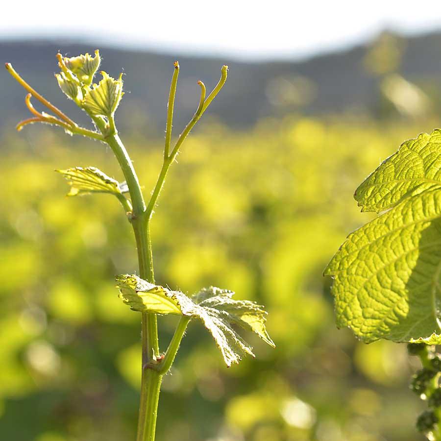 Frühjahrsstimmung im Weinberg in der Pfalz